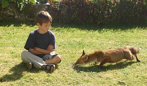 wild fox re-creation